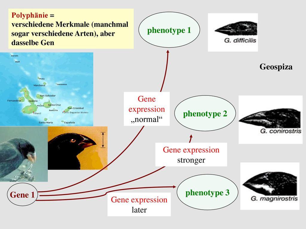 phenotype 1 Geospiza phenotype 2 phenotype 3 Gene 1