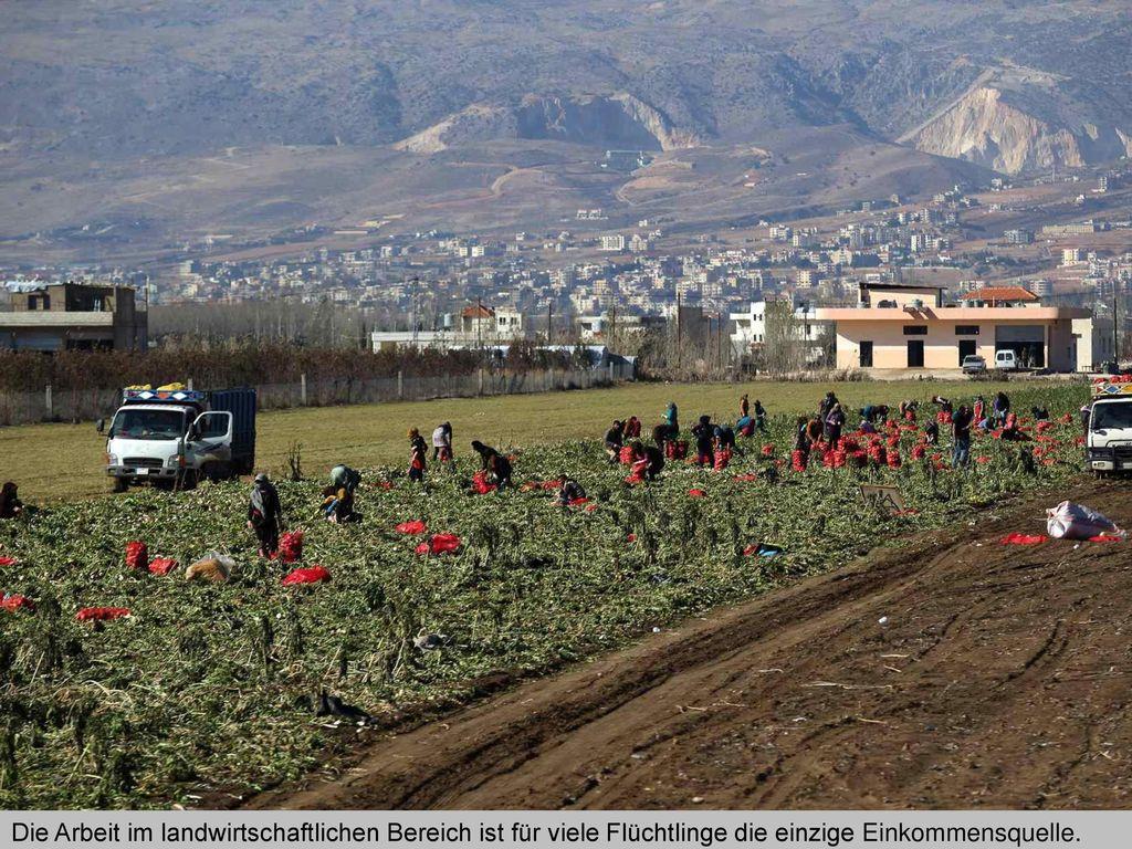 Die Arbeit im landwirtschaftlichen Bereich ist für viele Flüchtlinge die einzige Einkommensquelle.