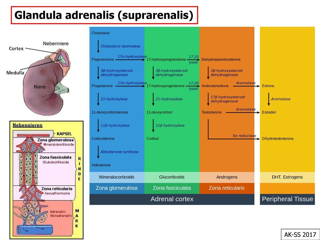 Glandula adrenalis (suprarenalis)