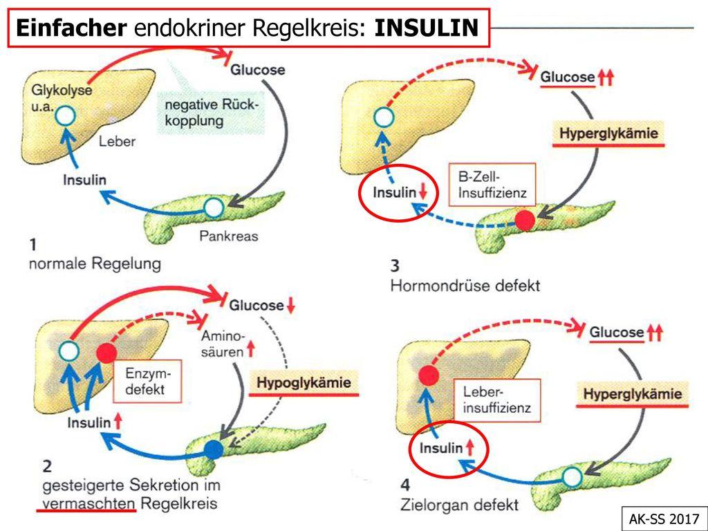 Einfacher endokriner Regelkreis: INSULIN