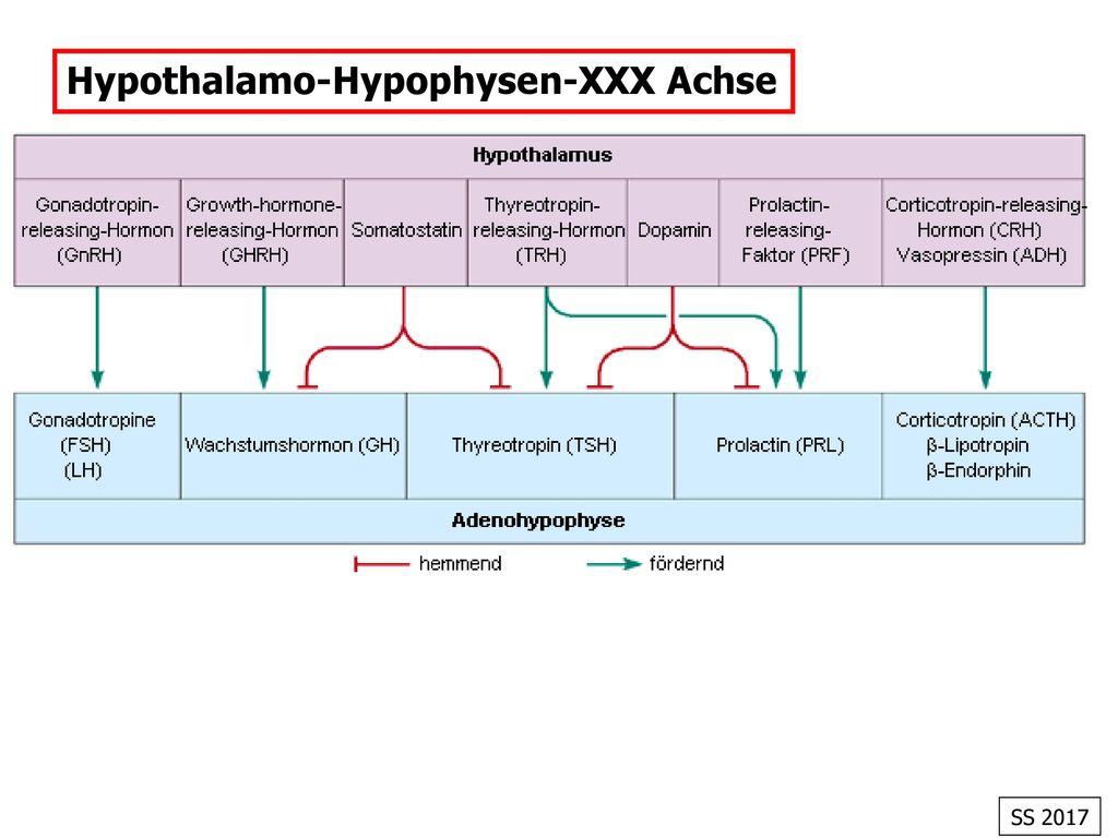 Hypothalamo-Hypophysen-XXX Achse