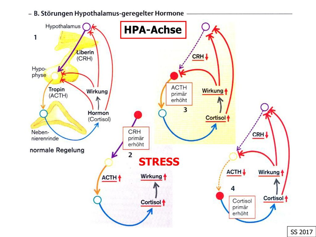 HPA-Achse STRESS SS 2017