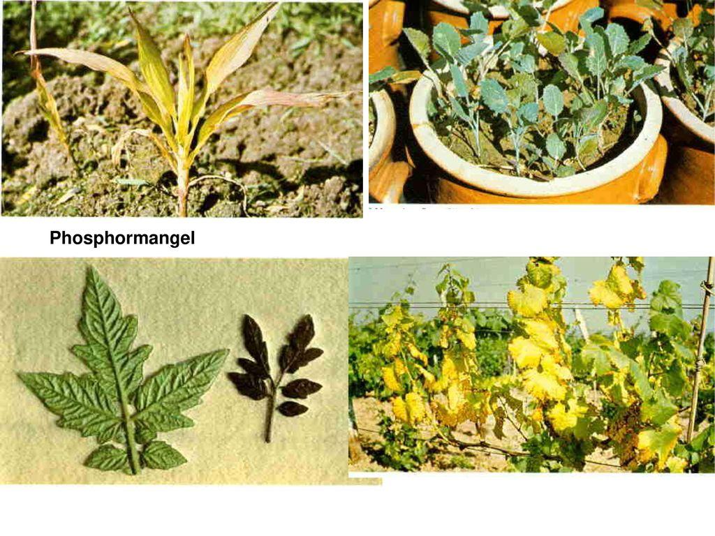 Phosphormangel