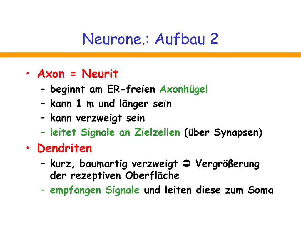 Neurone.: Aufbau 2 Axon = Neurit Dendriten