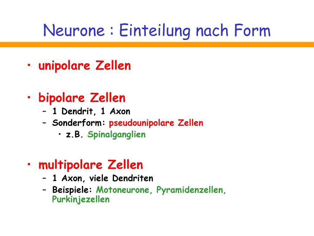 Neurone : Einteilung nach Form