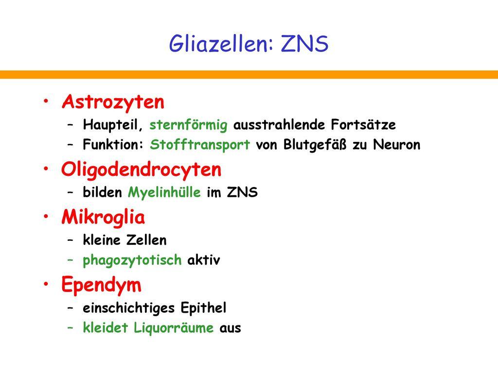 Gliazellen: ZNS Astrozyten Oligodendrocyten Mikroglia Ependym