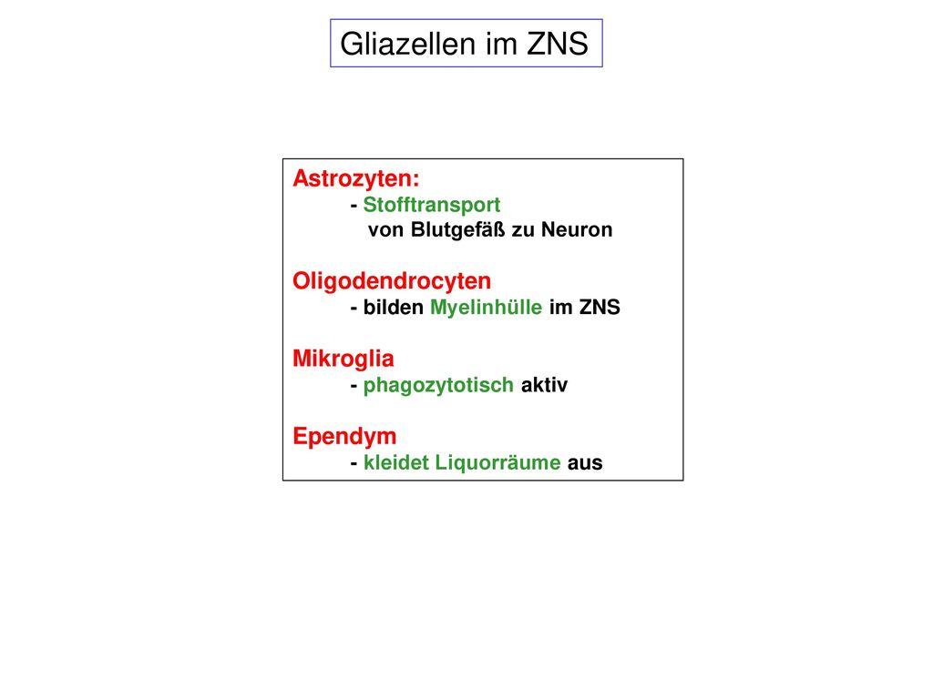 Gliazellen im ZNS Astrozyten: Oligodendrocyten Mikroglia Ependym