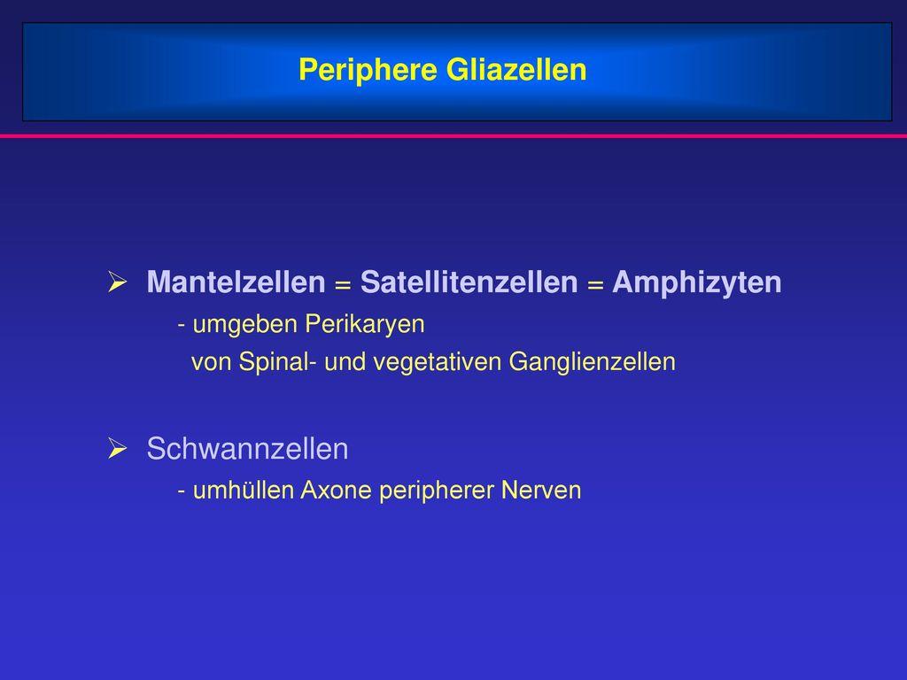 Mantelzellen = Satellitenzellen = Amphizyten
