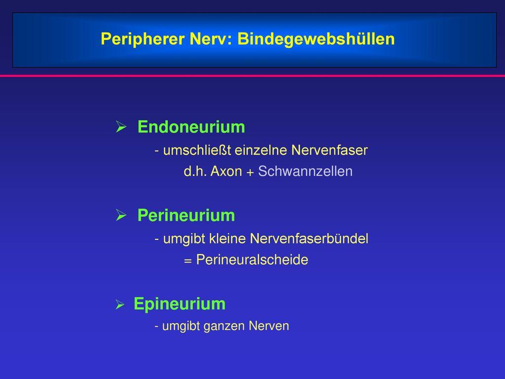 Peripherer Nerv: Bindegewebshüllen