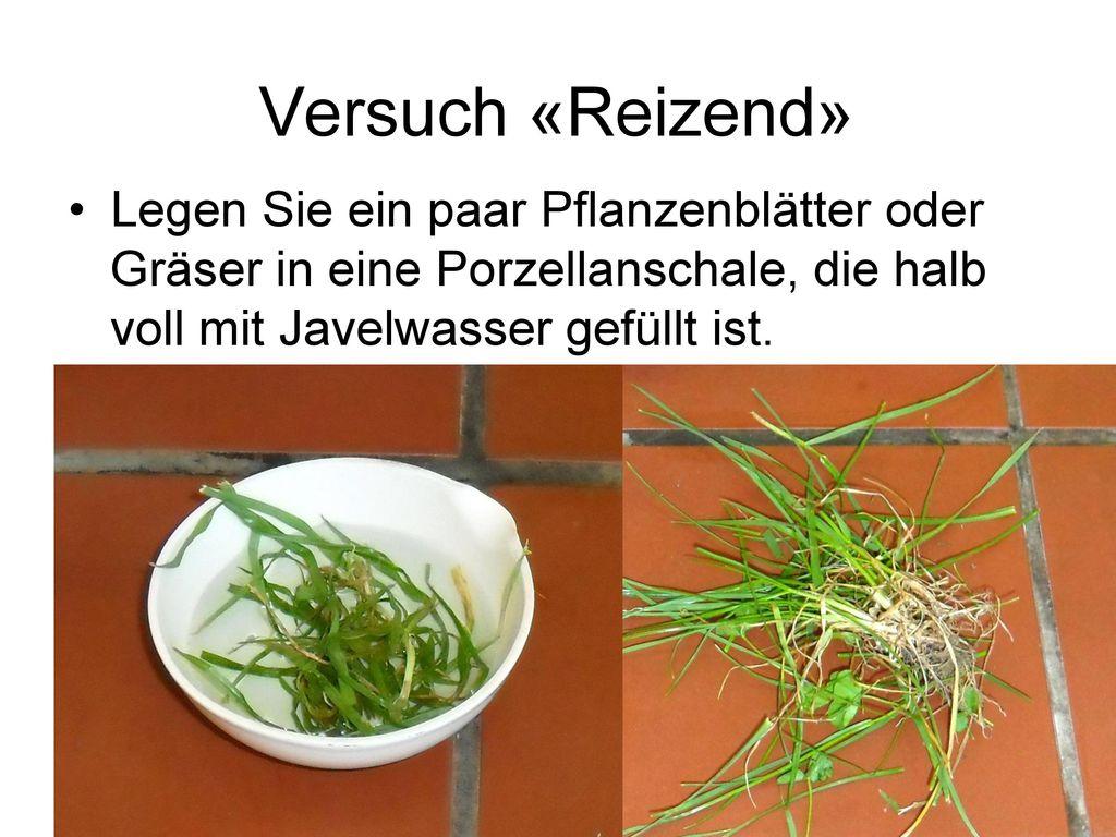 Versuch «Reizend» Legen Sie ein paar Pflanzenblätter oder Gräser in eine Porzellanschale, die halb voll mit Javelwasser gefüllt ist.