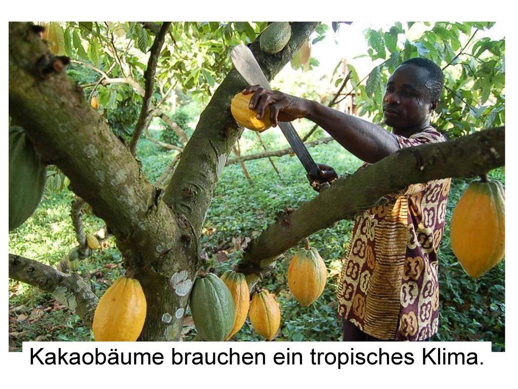 Kakaobäume brauchen ein tropisches Klima.