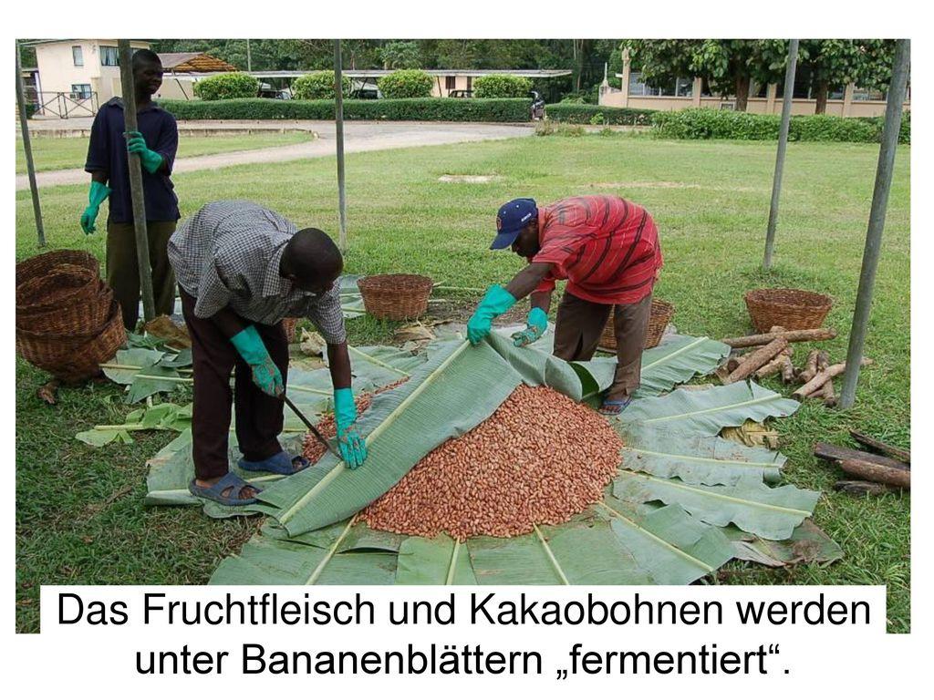 """Fermentation Das Fruchtfleisch und Kakaobohnen werden unter Bananenblättern """"fermentiert . 24"""