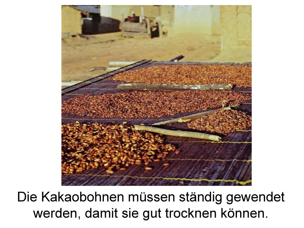 Trocknung .transfair.org. Die Kakaobohnen müssen ständig gewendet werden, damit sie gut trocknen können.