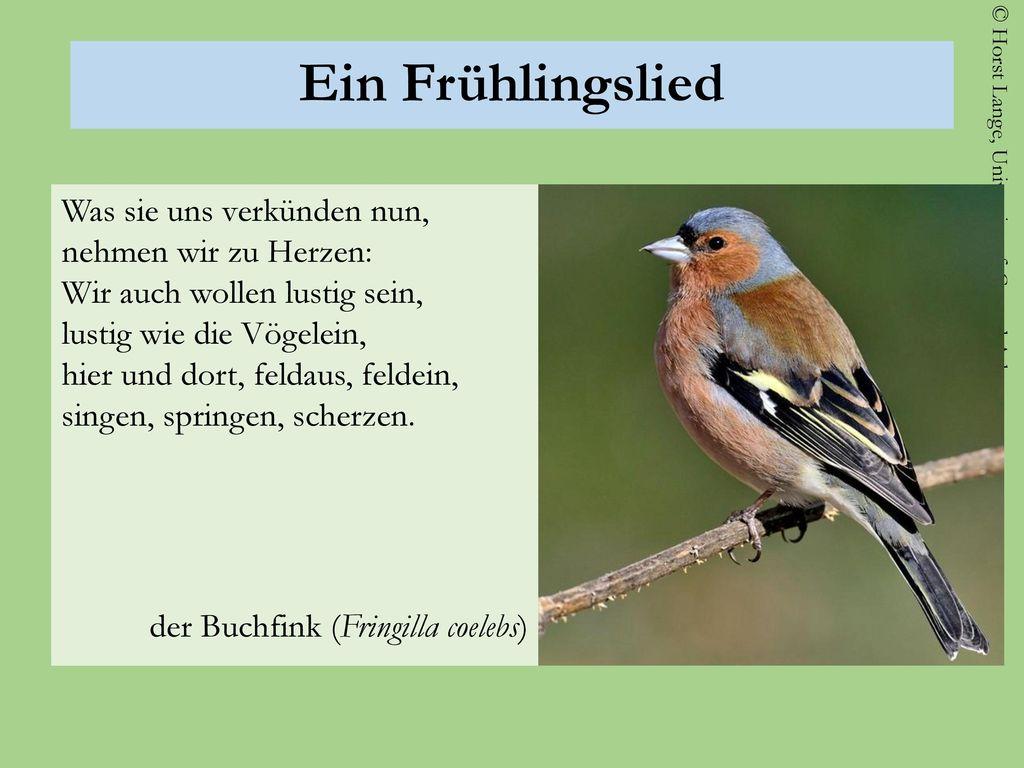 Ein Frühlingslied der Buchfink (Fringilla coelebs)