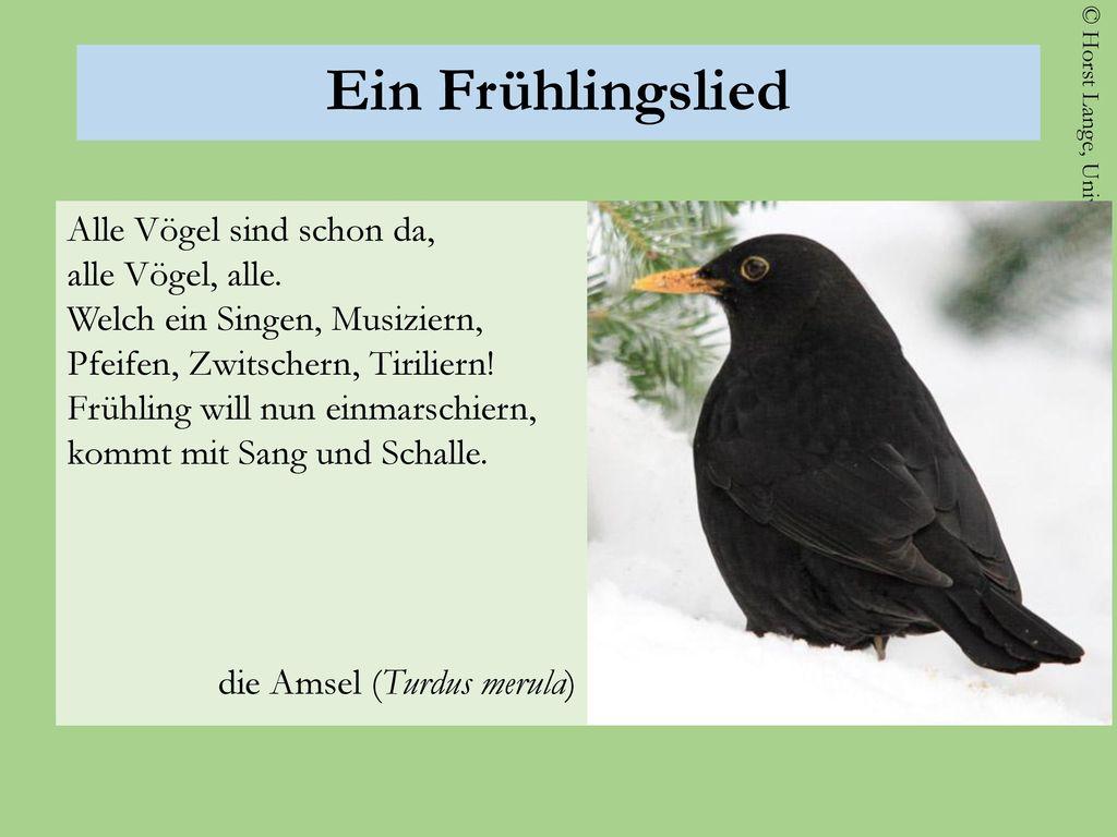 Ein Frühlingslied die Amsel (Turdus merula)