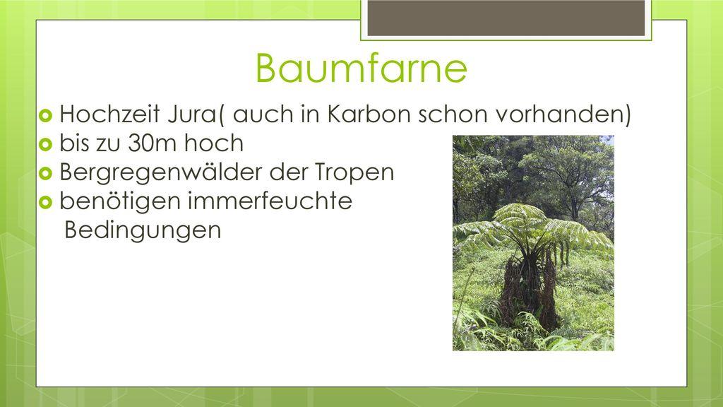 Baumfarne Hochzeit Jura( auch in Karbon schon vorhanden)