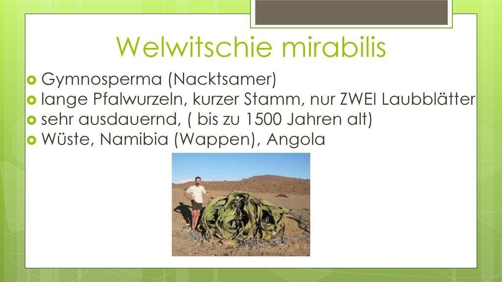 Welwitschie mirabilis