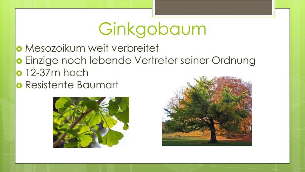Ginkgobaum Mesozoikum weit verbreitet