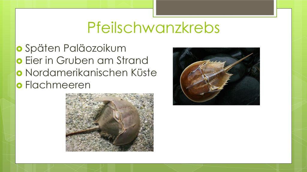 Pfeilschwanzkrebs Späten Paläozoikum Eier in Gruben am Strand