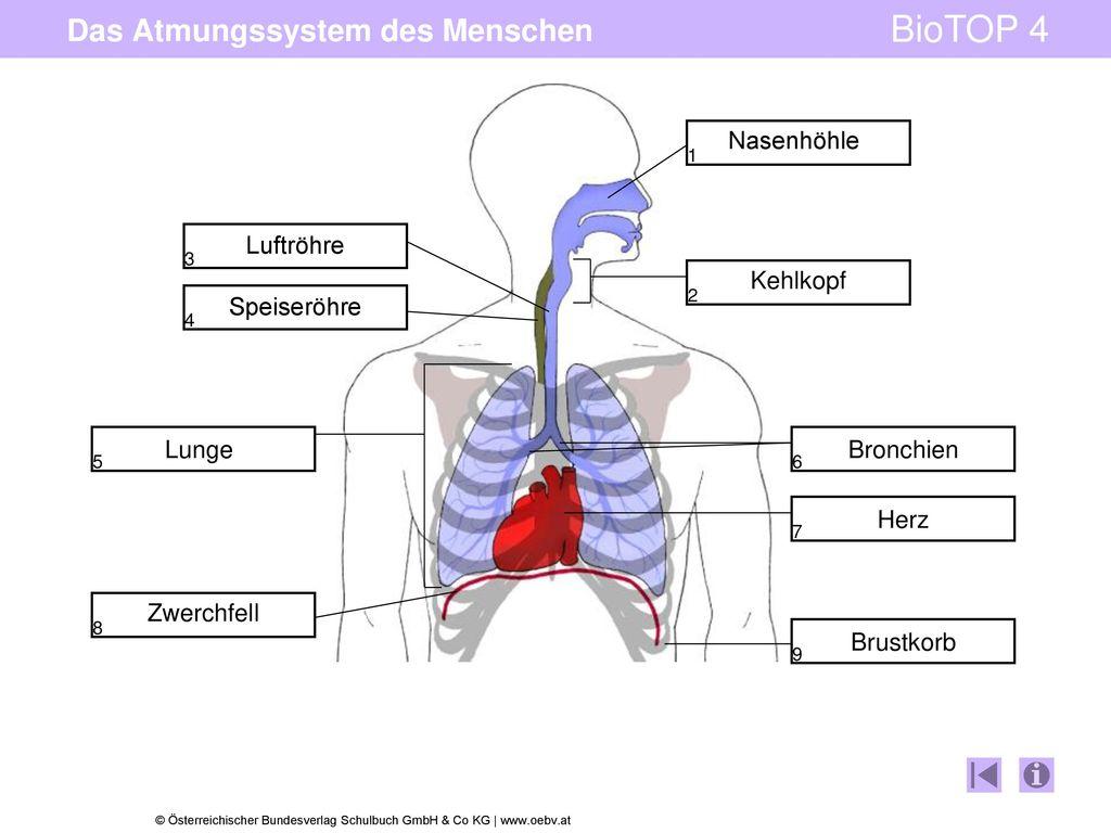 Groß Interaktives Atmungssystem Bilder - Anatomie Und Physiologie ...