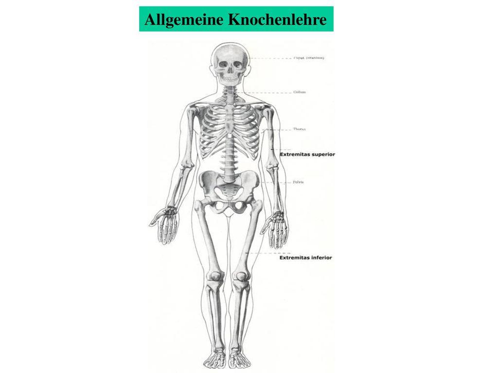 Charmant Knochen Diagramm Zeitgenössisch - Physiologie Von ...