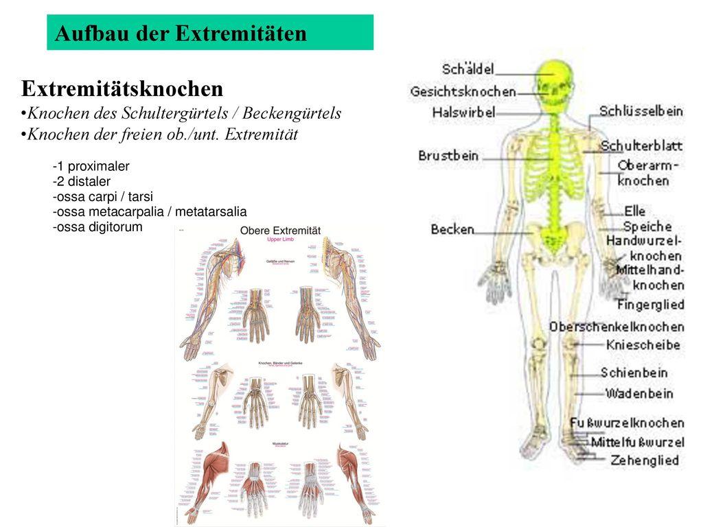Großartig Anatomie Oberarmknochen Bilder - Menschliche Anatomie ...