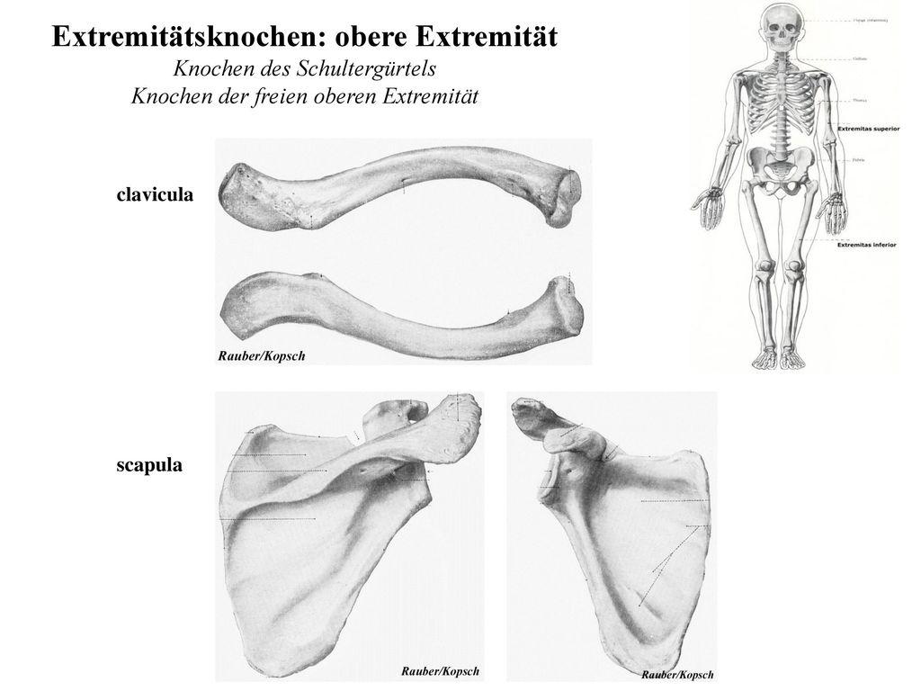 Großartig Anatomie Obere Extremität Notizen Fotos - Anatomie Von ...