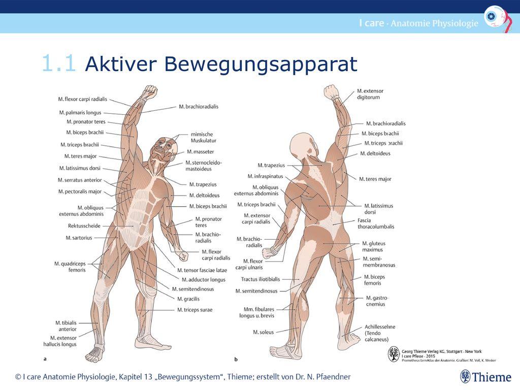 Wunderbar Bewegungsapparat Ideen - Menschliche Anatomie Bilder ...