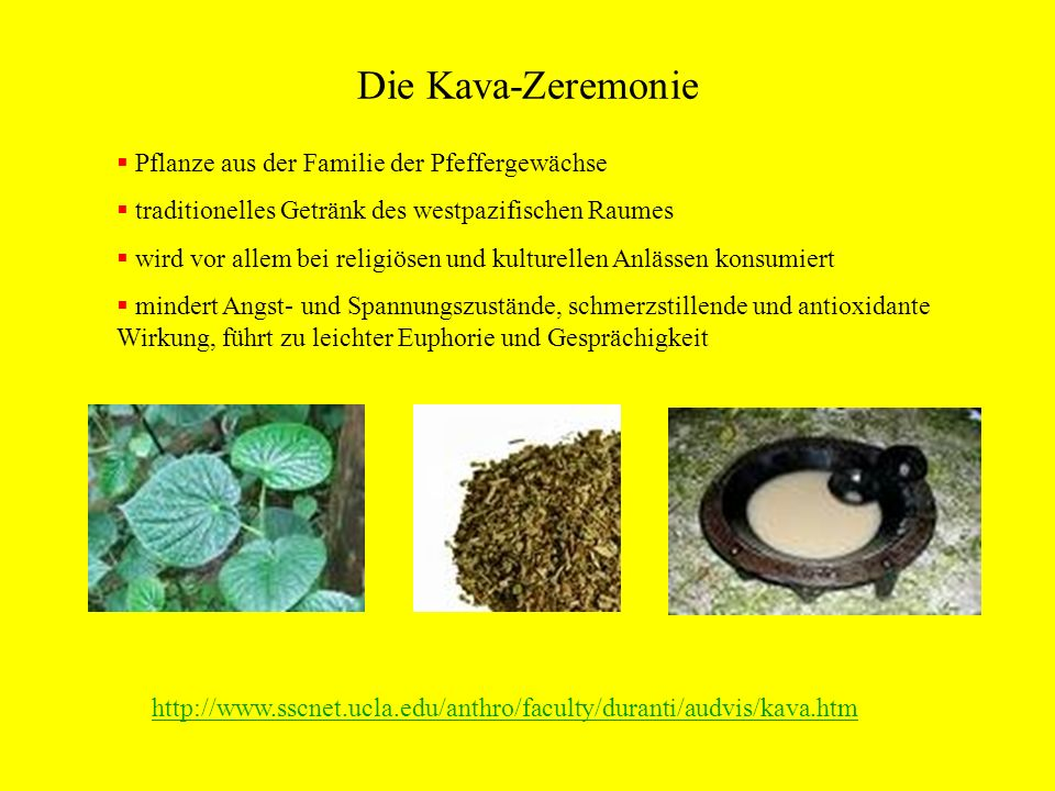 Die Kava-Zeremonie Pflanze aus der Familie der Pfeffergewächse