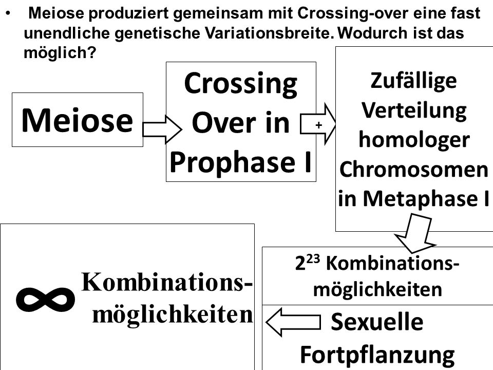 ∞ Meiose Crossing Over in Prophase I Kombinations- möglichkeiten