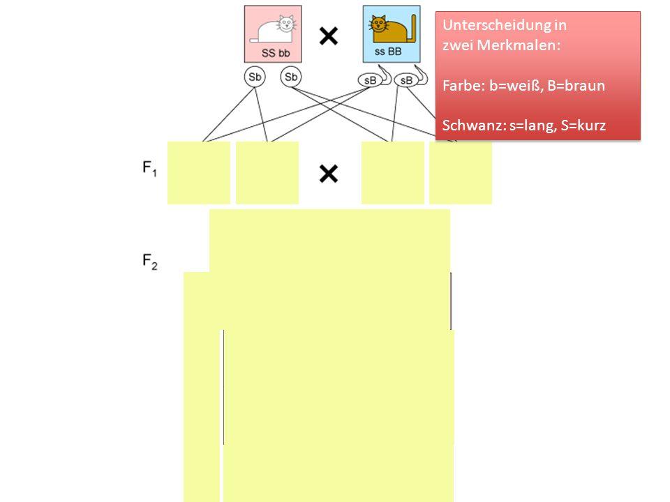 Unterscheidung in zwei Merkmalen: Farbe: b=weiß, B=braun Schwanz: s=lang, S=kurz