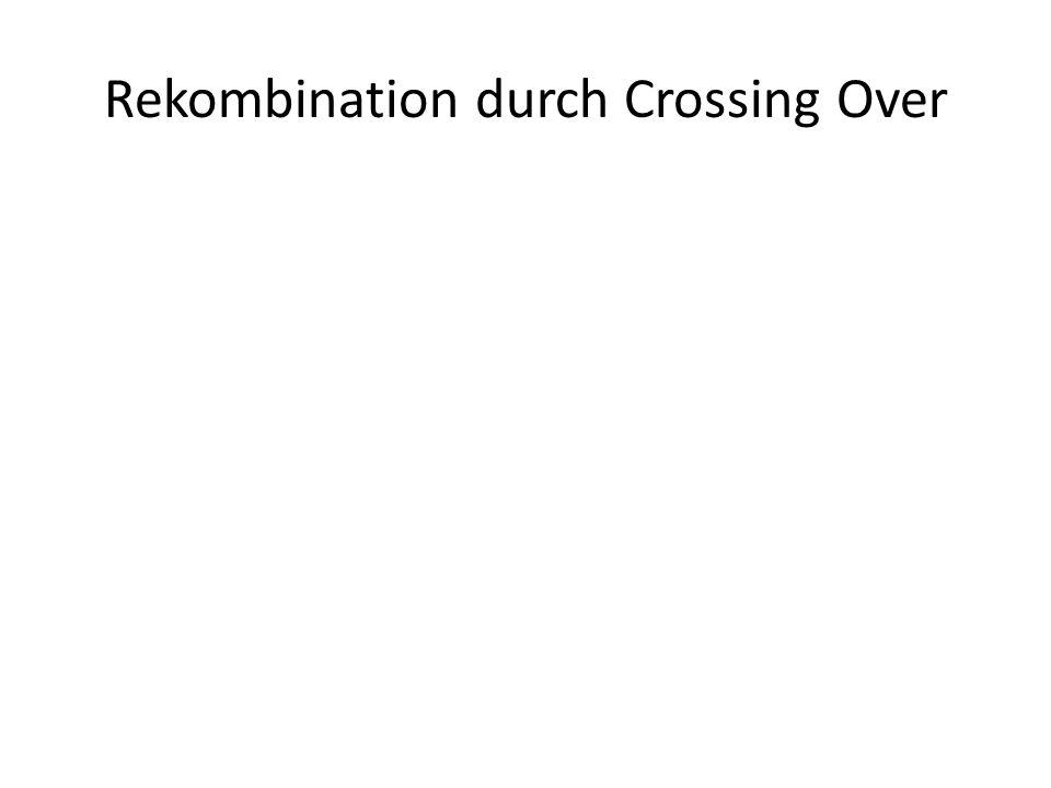 Rekombination durch Crossing Over