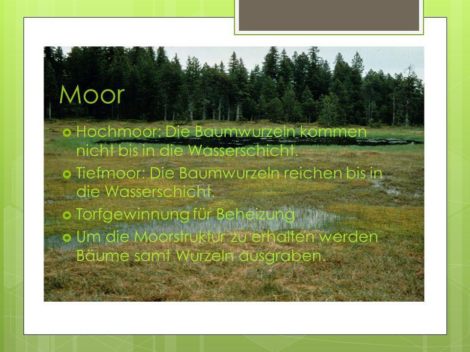 Moor Hochmoor: Die Baumwurzeln kommen nicht bis in die Wasserschicht.