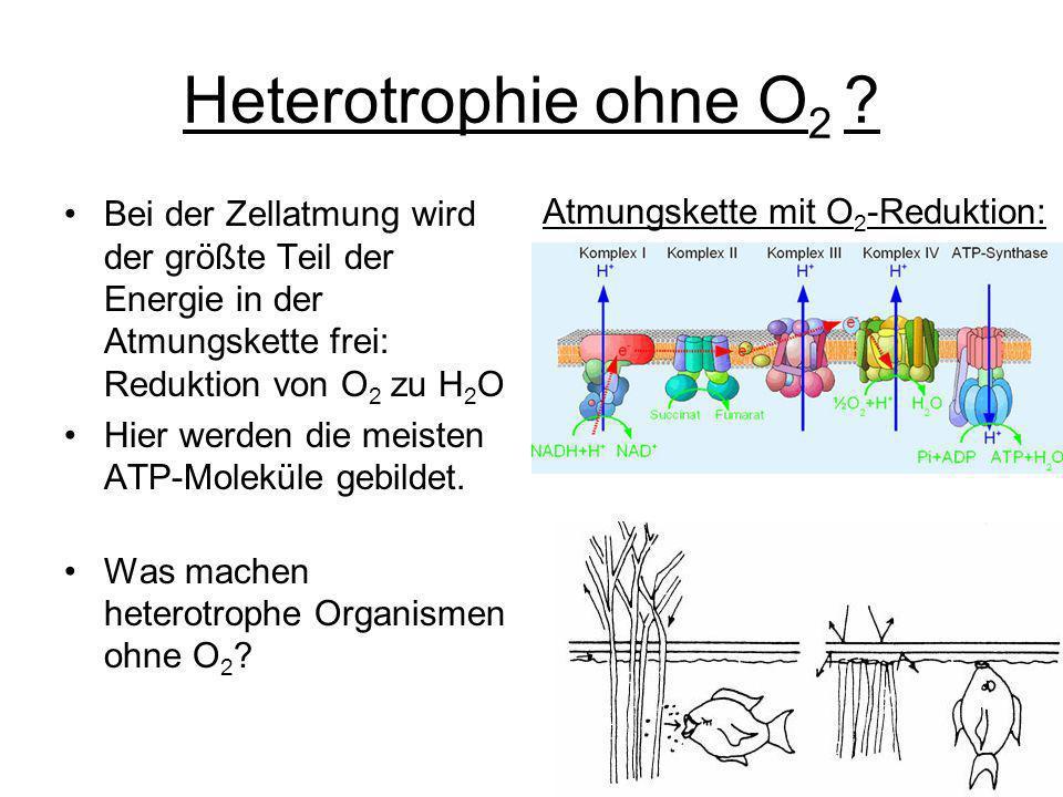 Heterotrophie ohne O2 Bei der Zellatmung wird der größte Teil der Energie in der Atmungskette frei: Reduktion von O2 zu H2O.