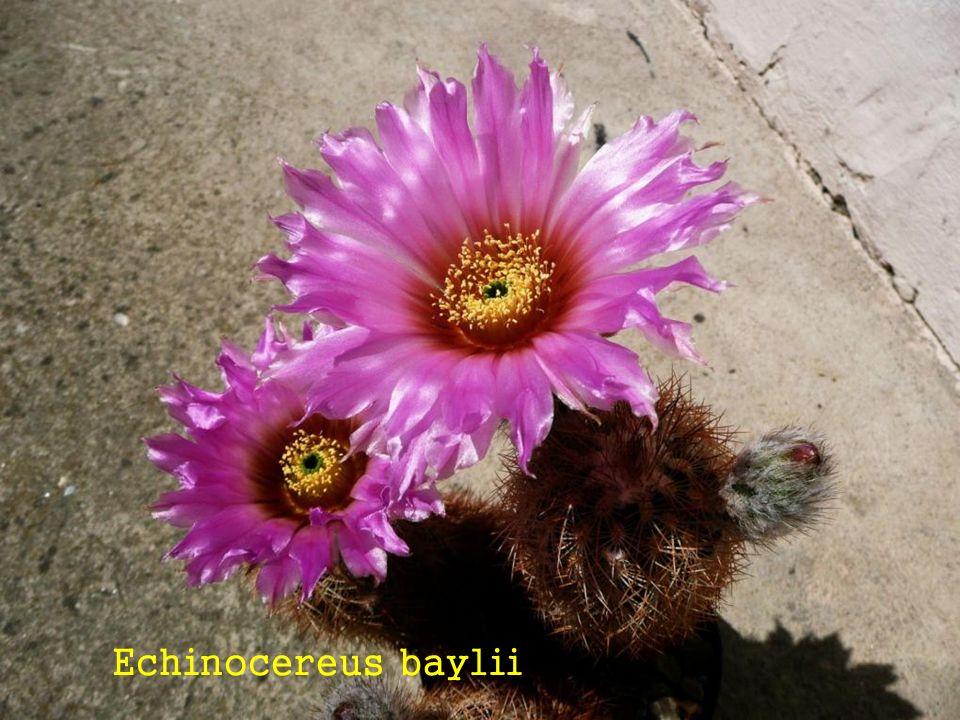Echinocereus baylii