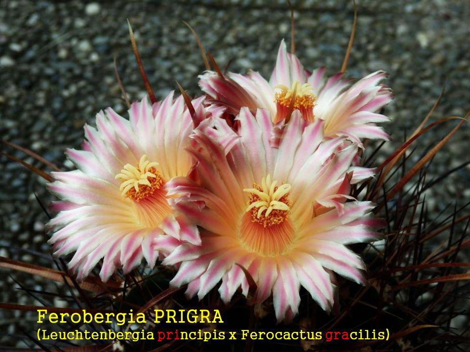 Ferobergia PRIGRA (Leuchtenbergia principis x Ferocactus gracilis)