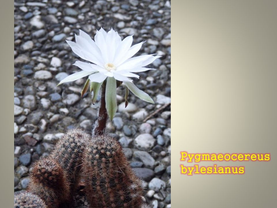 Pygmaeocereus bylesianus