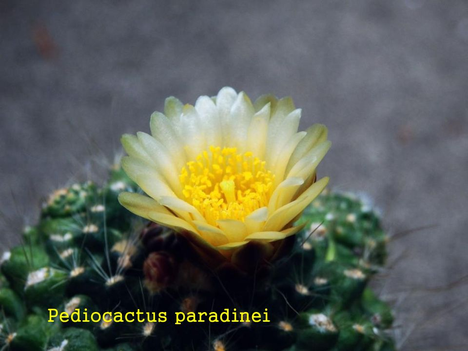 Pediocactus paradinei