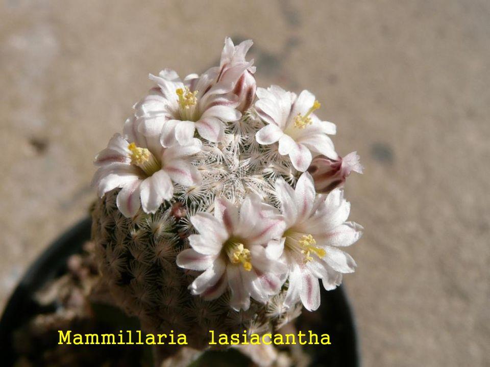 Mammillaria lasiacantha