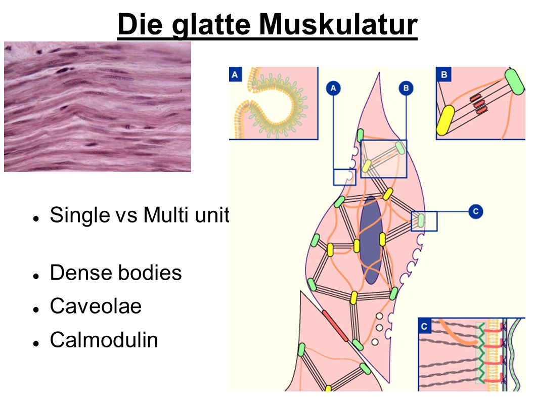 Die glatte Muskulatur Single vs Multi unit Dense bodies Caveolae