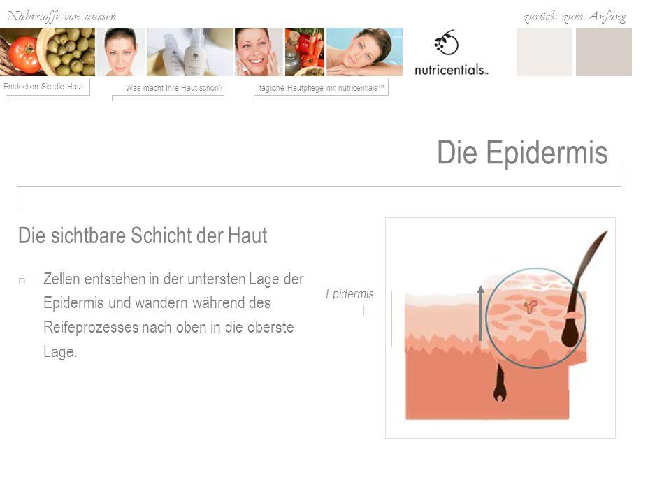 Die Epidermis Die sichtbare Schicht der Haut