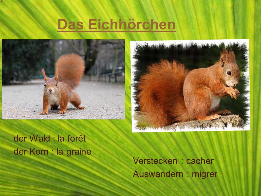 Das Eichhörchen der Wald : la forêt der Korn : la graine