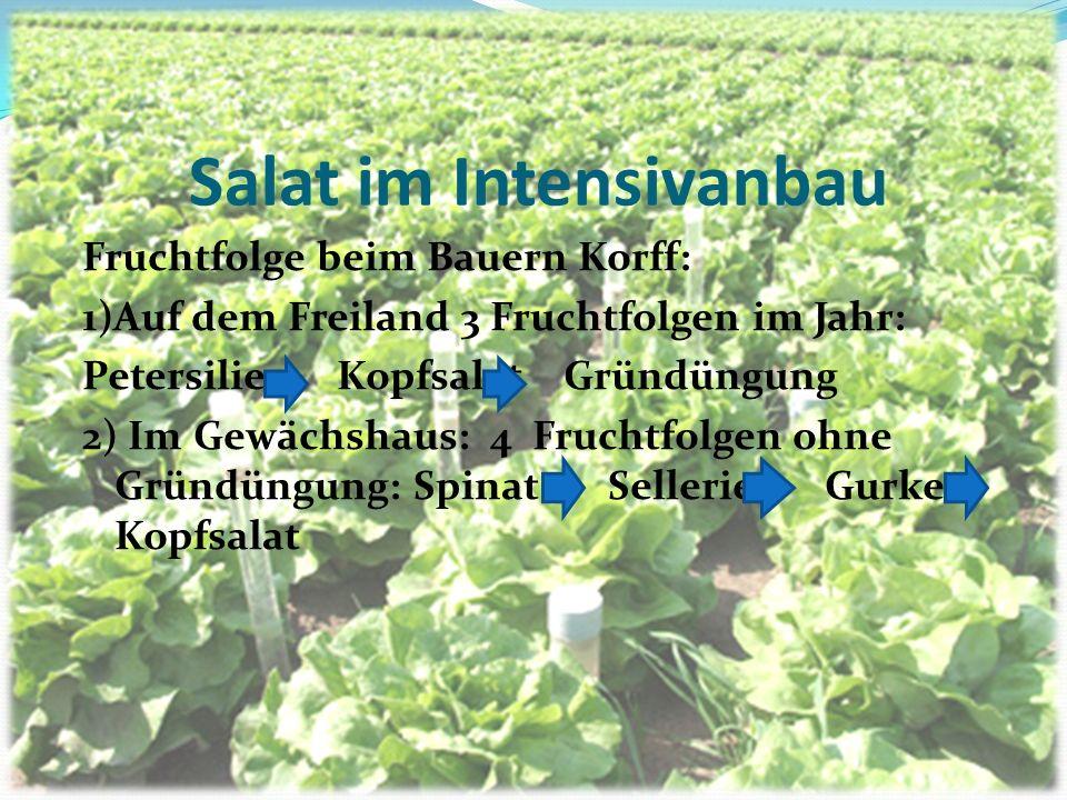 Salat im Intensivanbau