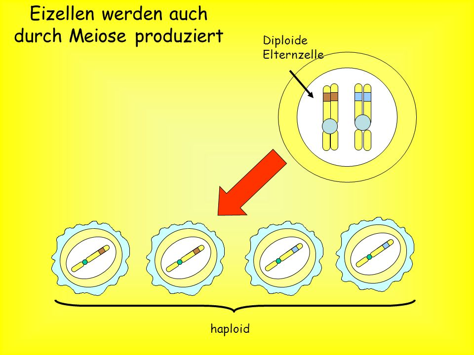 Eizellen werden auch durch Meiose produziert