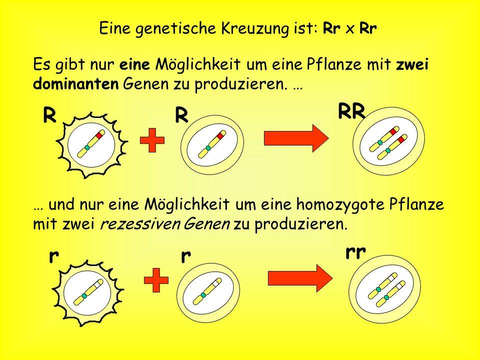 Eine genetische Kreuzung ist: Rr x Rr