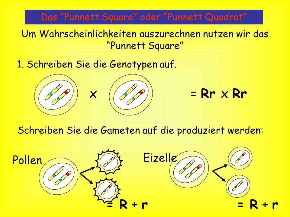 x = Rr x Rr = R + r = R + r Eizelle Pollen