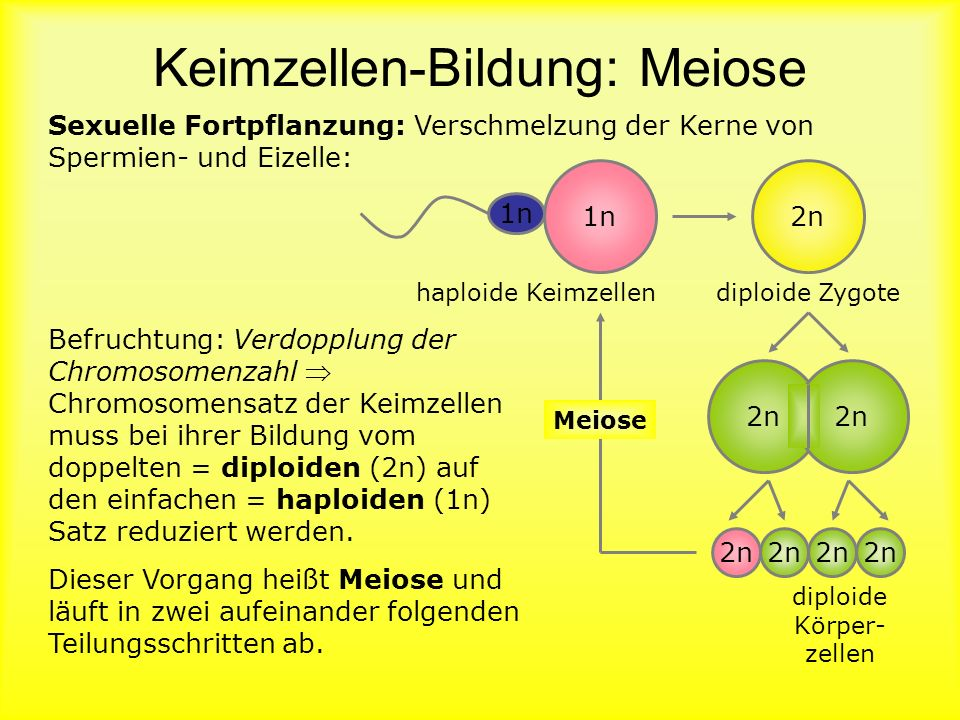 Keimzellen-Bildung: Meiose