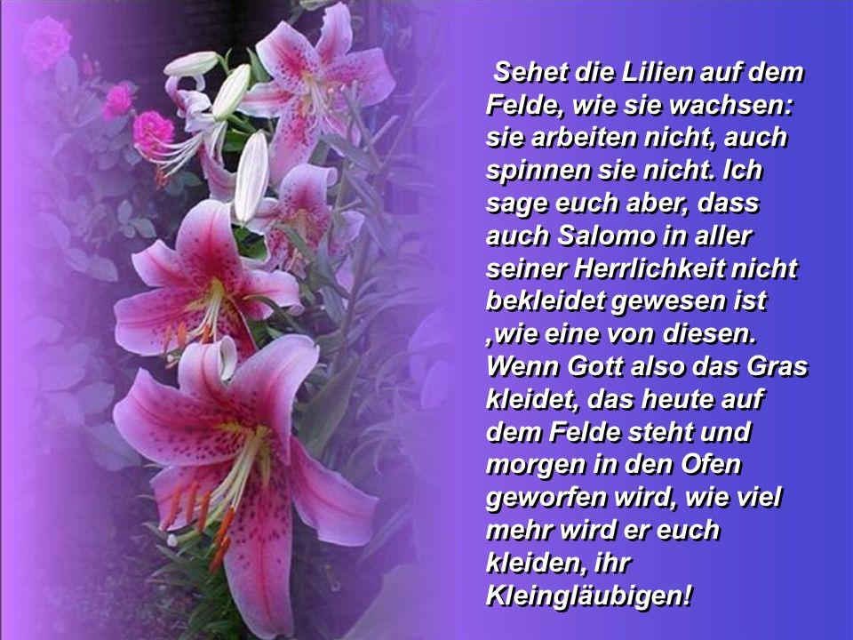 Sehet die Lilien auf dem Felde, wie sie wachsen: sie arbeiten nicht, auch spinnen sie nicht. Ich sage euch aber, dass auch Salomo in aller seiner Herrlichkeit nicht bekleidet gewesen ist ,wie eine von diesen.