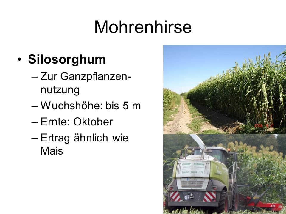 Mohrenhirse Silosorghum Zur Ganzpflanzen-nutzung Wuchshöhe: bis 5 m