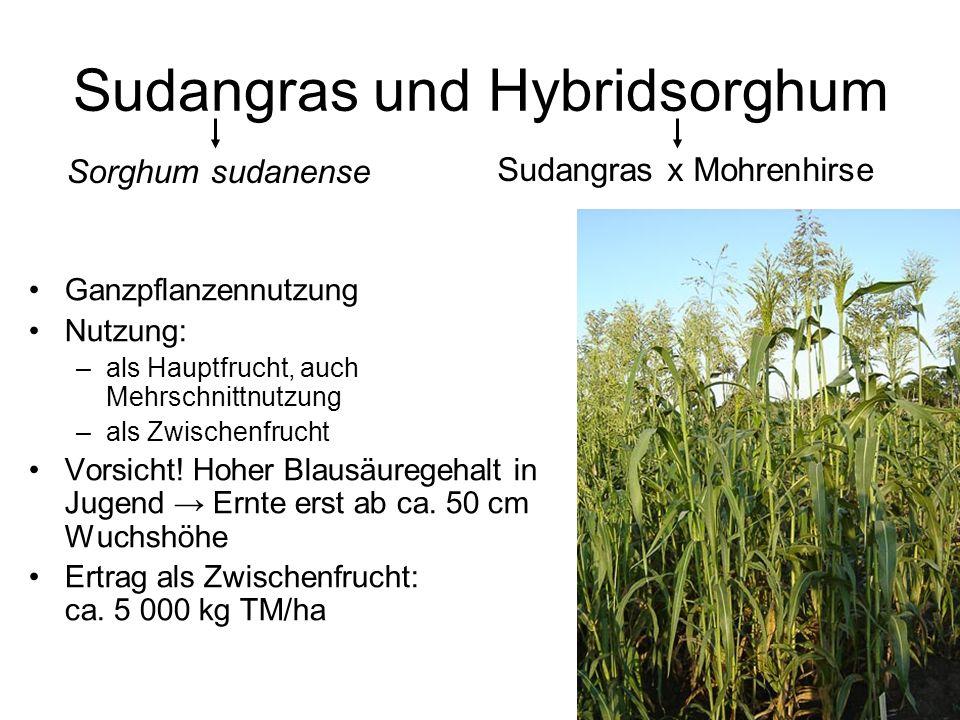 Sudangras und Hybridsorghum
